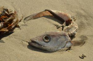 Pesce spolpato dallo spolpo